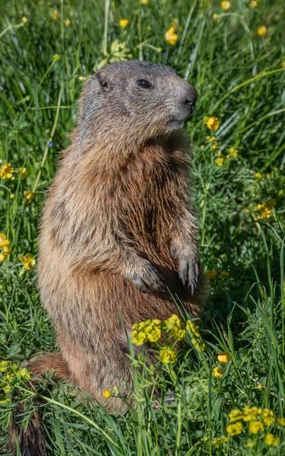 Beaver Vosges - Wild animals Vosges - Beaver Epinal